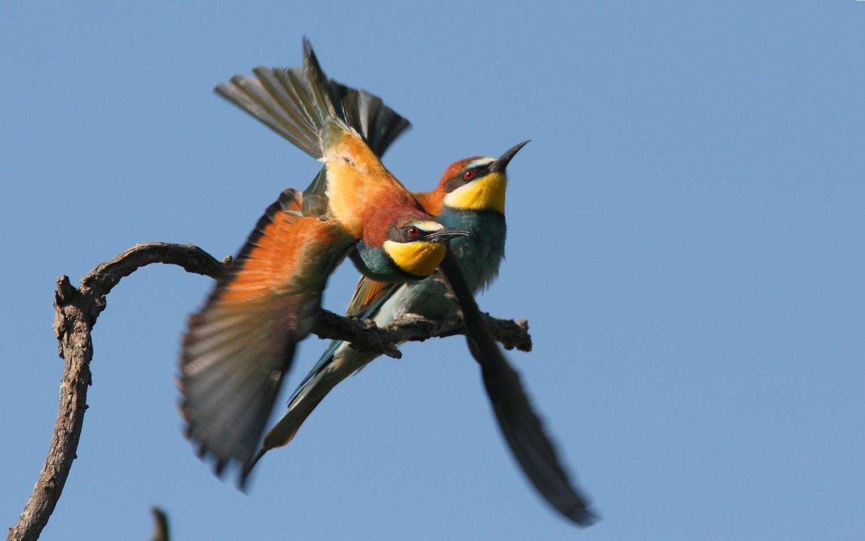 Gruccione (European bee-eater - Merops apiaster) (Foto di Emanuele Stival-Archivio Lipu) Imc
